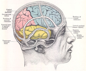 image of parts of the human brain